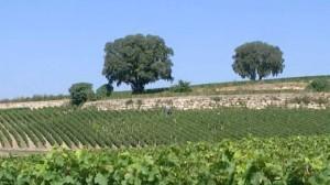 Blog-du-vin.fr- vignes Saint Emilion